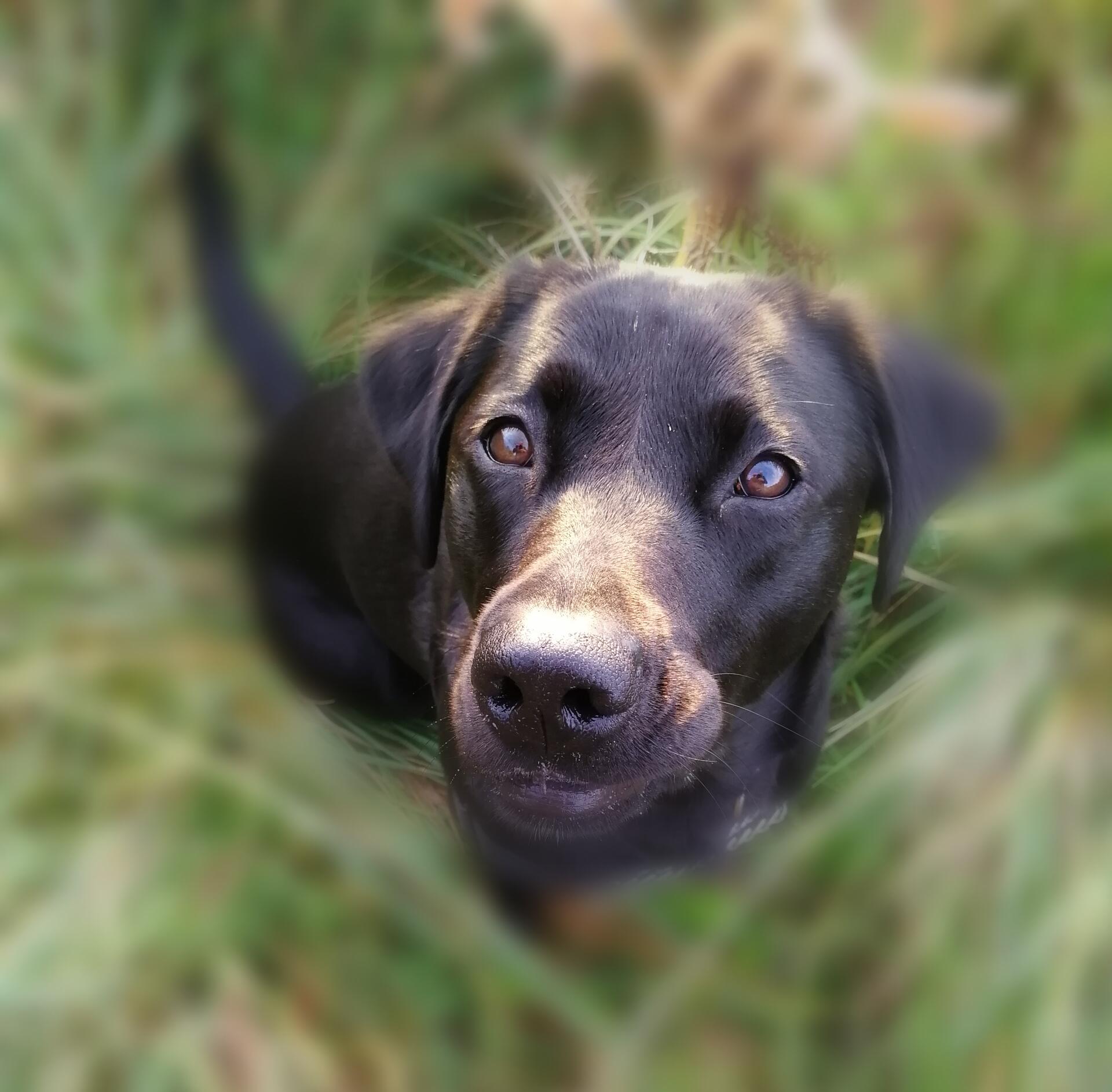 Labrador, gun dog, retriever, Wiltshire, walking