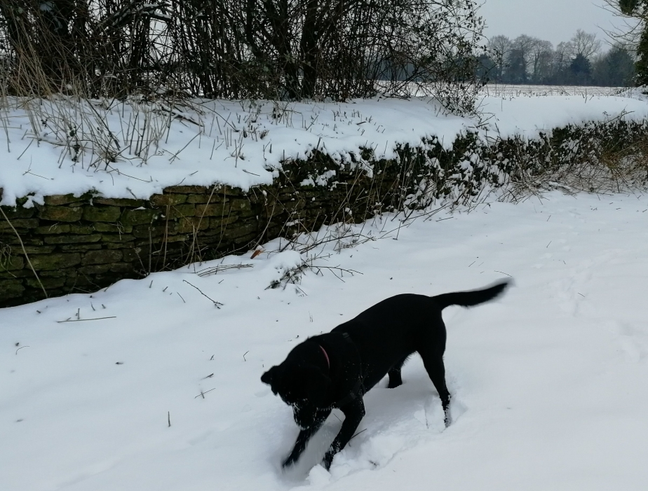 snow, dogs, Labradors, walking, Wiltshire