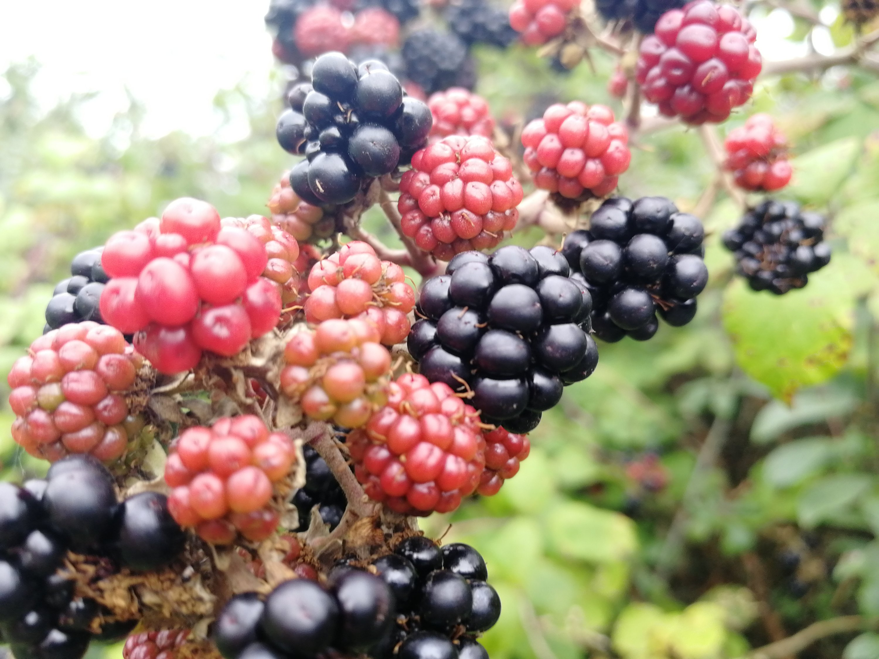 Blackberries, foraging, jam, syrups, jellies