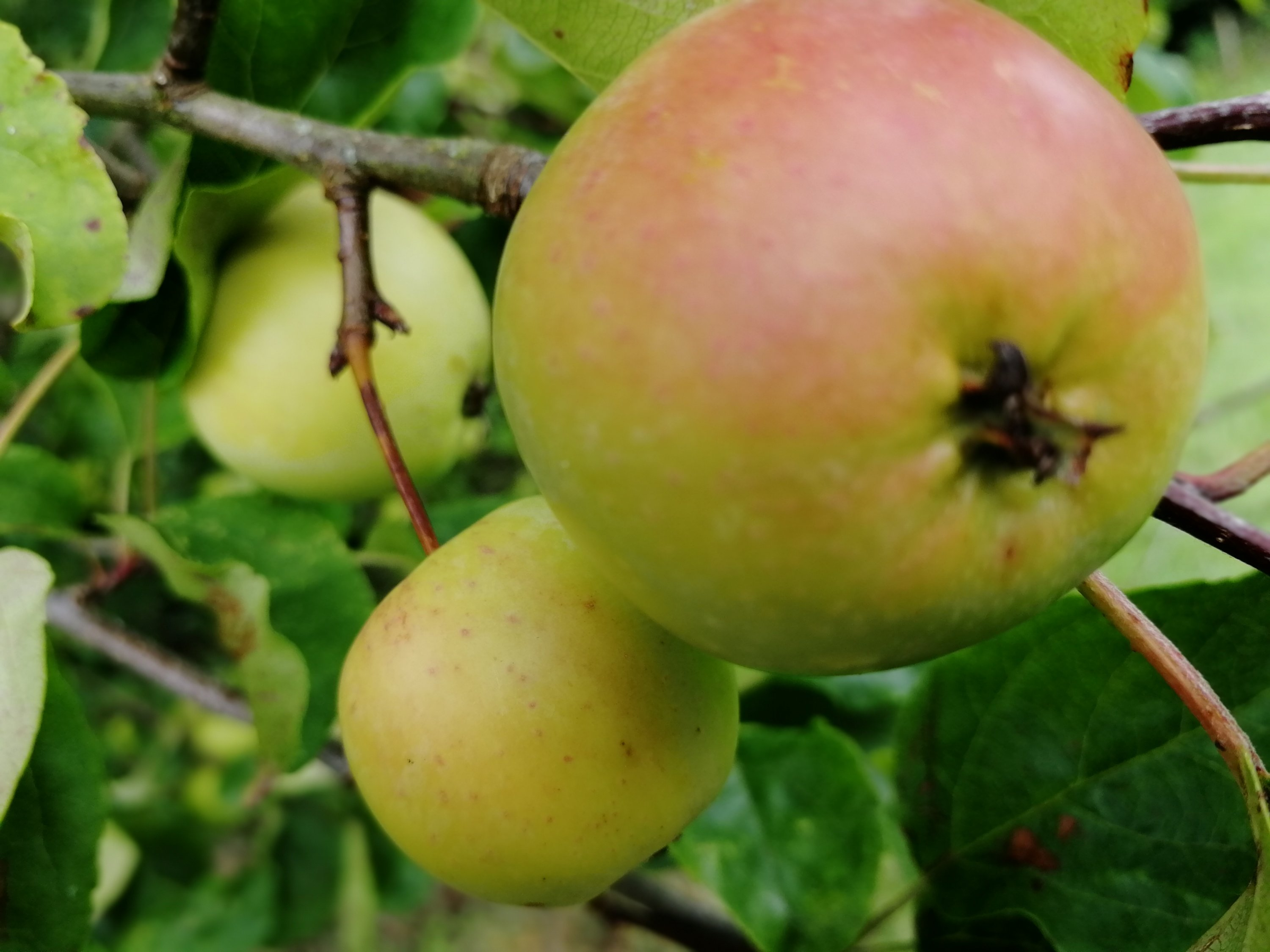 apples, crab apples, foraging, jellies, syrups