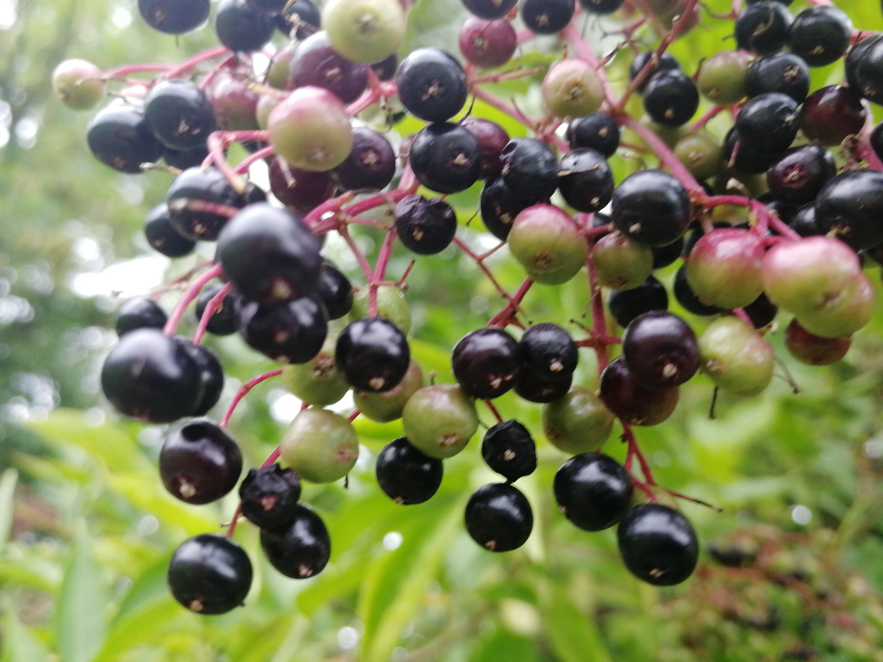 home made,elderberry syrup,foraging, hedgerows, healthy eating